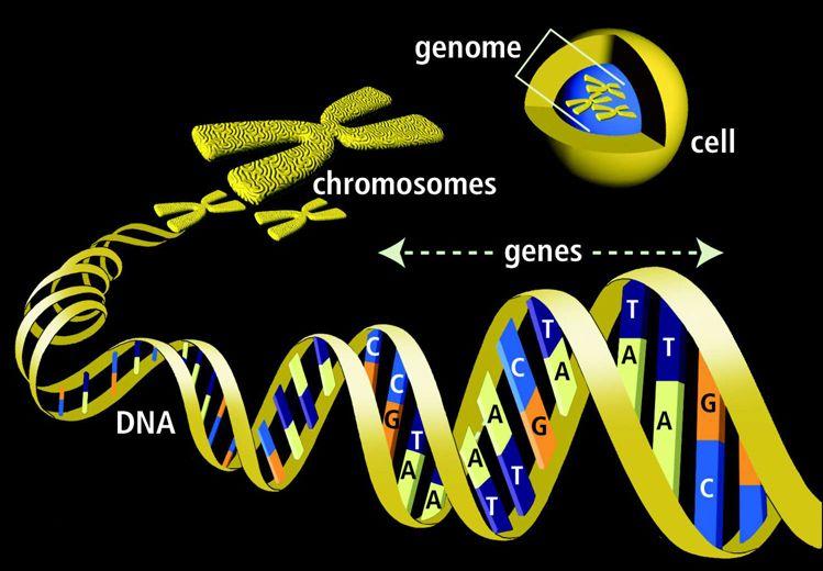 DNA - genes