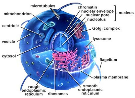 Human cell structure