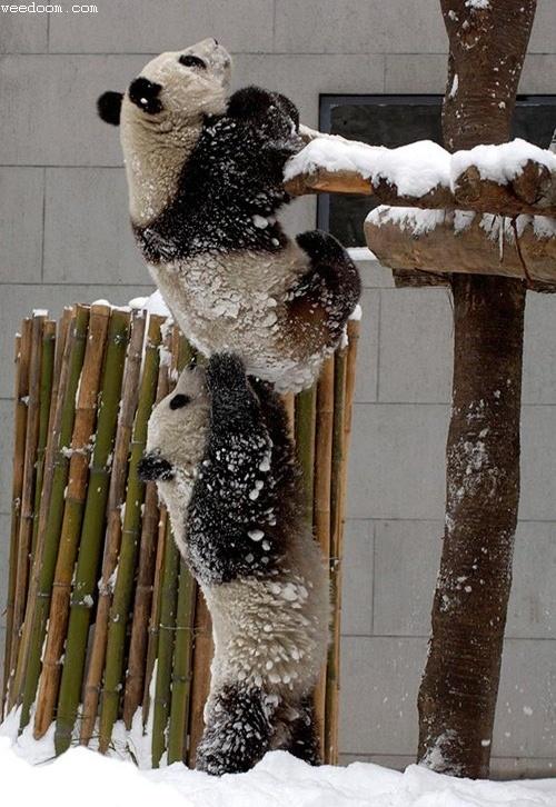 Saradnja medju pandama